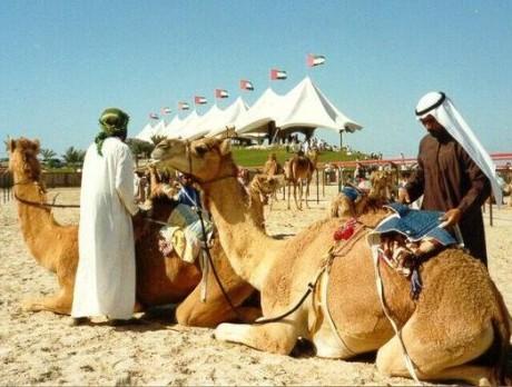 Верблюжьи бега в Дубаи