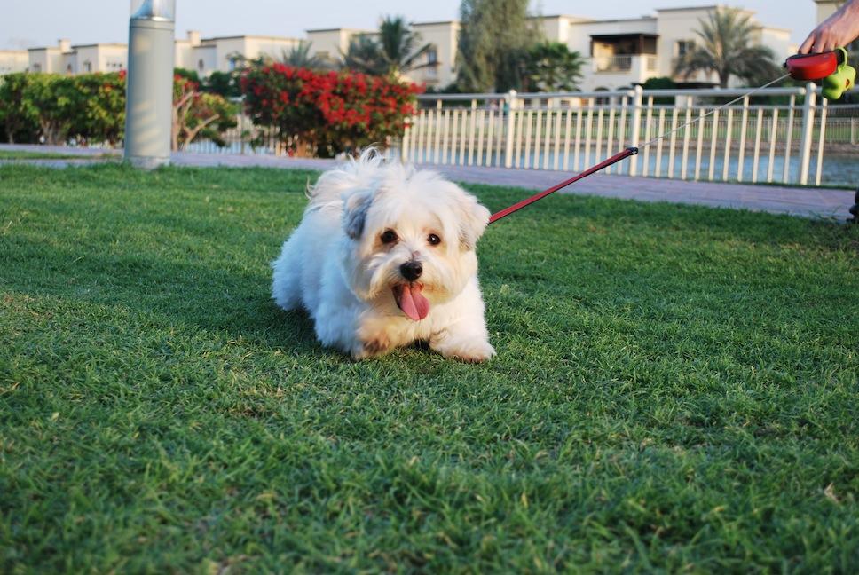 Собаки в Дубае