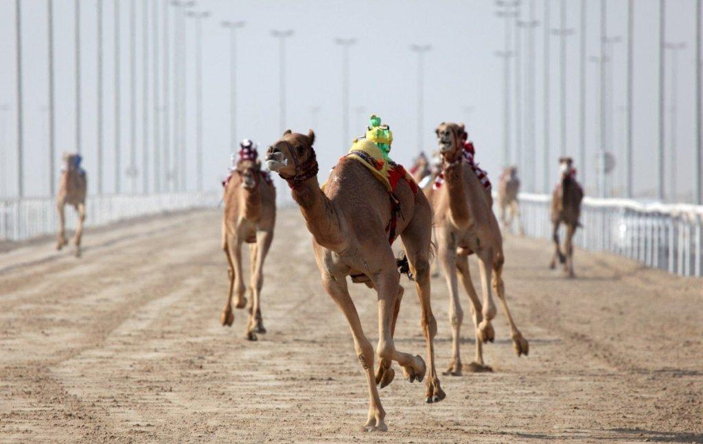 скачки верблюдов
